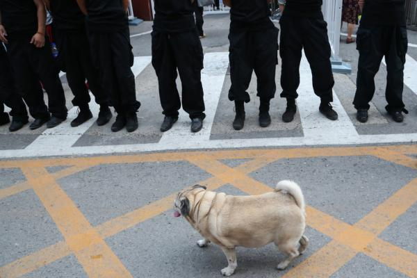 2014年8月18日,北京,一条宠物狗在壁垒森严的保安眼前散步。权义 磅礴材料