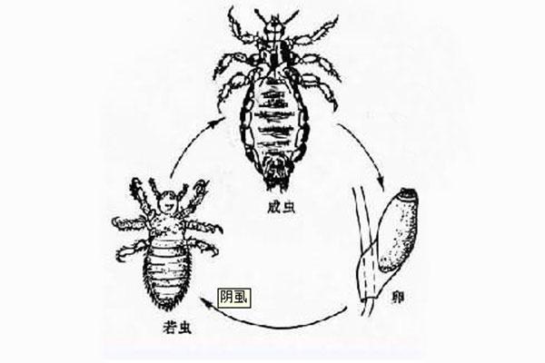 肺吸虫卵手绘图作业