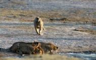 豹群喝水惹怒狒狒 上演追逐好戏