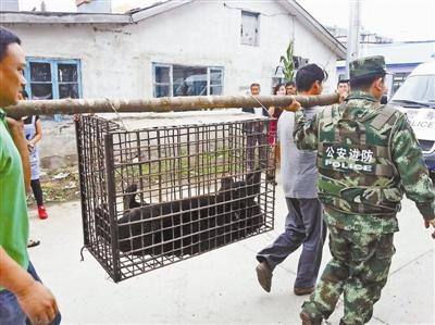 一只越境进入国家黑龙江的黑熊被捕获