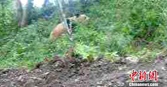 9月1日,甘孜州泸定县境内发的活体家养大熊猫。 泸定林业局供给 摄