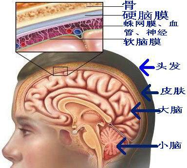 图示:人脑部的结构-癌症知多少 68 脑瘤为什么会死人