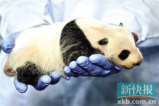 小公主于8月9日诞生,于前天公开亮相,你不妨给它起个名字   新快报讯 记者李佳文报道 前天上午,广州长隆野生动物世界总经理董贵信对外宣布,又有一只熊猫宝宝于2015年8月9日诞生。这只大熊猫幼崽出生时体重为170克,于前天进行了公开体检,这也是它首次亮相。体检显示,这只幼崽是个小公主,体重865克,健康状况十分理想。它是汶川地震后移居广州的大熊猫婷婷所生。至此,广州长隆野生动物世界已经连续3年成功繁殖出共5只大熊猫幼崽,在北回归线以南的地区尚属首次。   体检时,两个巴掌大小的国宝被装到一