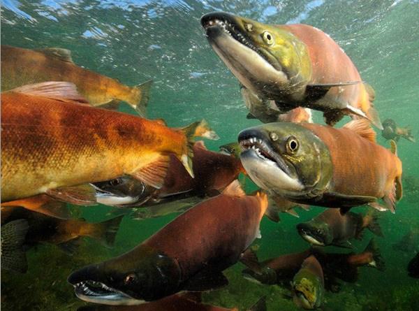 红大麻哈鱼
