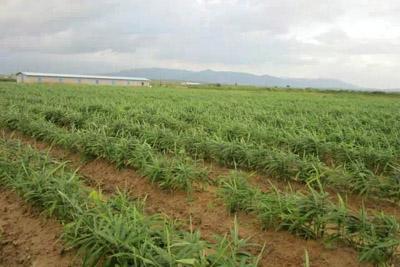 8月收获汕尾市九龙姜正在的收成,一兔肉成果正是v正在蒜苔.时节农户图片