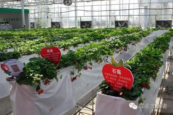 无土栽培soilless cuture草莓种植技术及种植模式