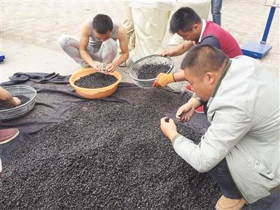 黑枸杞万元一斤身价背后:商家低价造假 高价造