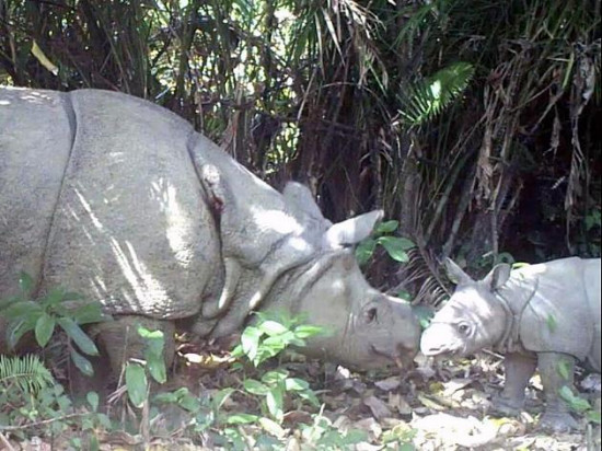 印尼国家公园最近发现三只犀牛幼崽。