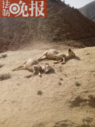 兰州羊舍受到不明家养植物攻击 40余只羊坠崖身亡