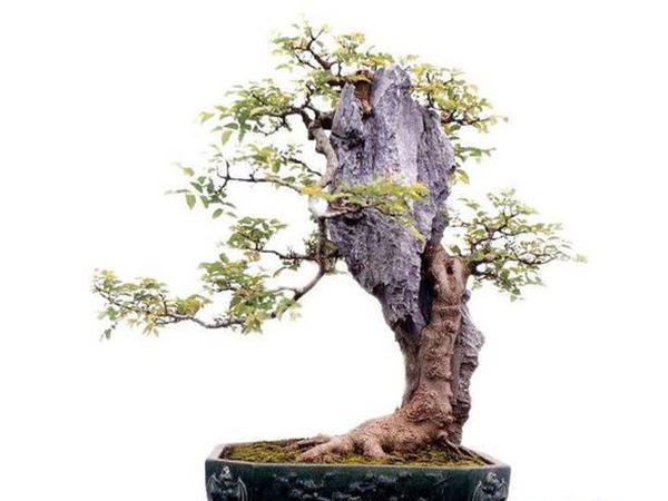什么是附石式树桩盆景图片
