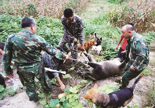 图为:打猎队队员将猎捕的野猪拖离庄稼地