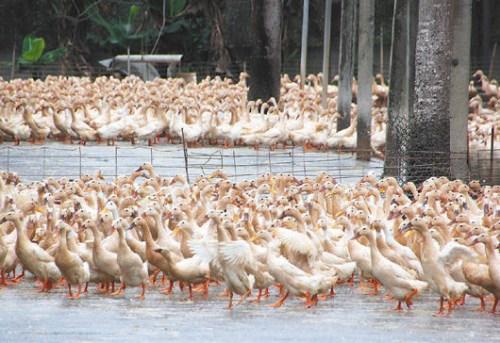资料图片:当地时间15日,位于全罗南道康津和罗州的两家养鸭场出现了禽流感疑似病例。