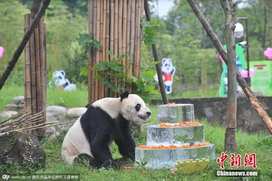 2015年9月21日,成都,在国家爱护大熊猫研讨中心都江堰基地,歌星熊猫盼盼迎30岁华诞,适当于人类100岁,是现存年岁最大的雌性大熊猫。吕甲 摄 CFP视觉国家