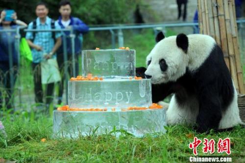 """大熊猫""""盼盼""""吃华诞蛋糕。 衡毅 摄"""