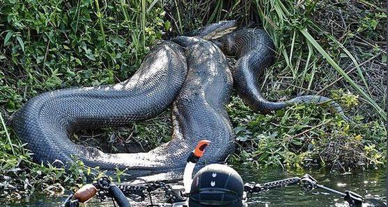 巨蟒和鳄鱼一对一对决,到底谁更厉害?-搜狐