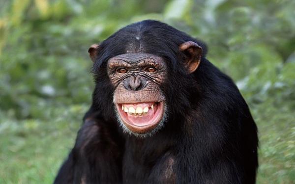 日本科学家研究发现黑猩猩能看懂电影并预测情节