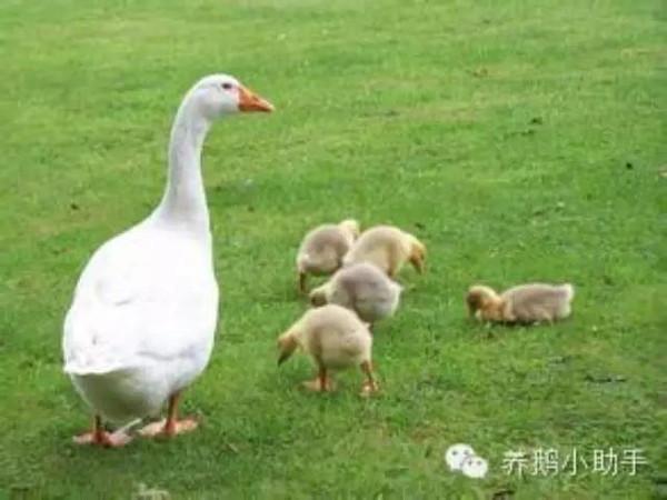 鹅怎么区分公母-怎么样才能让鹅多下蛋图片