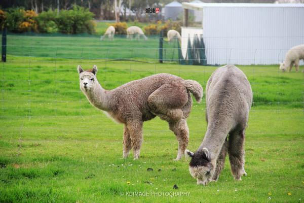 实拍 新西兰基督城草泥马农场