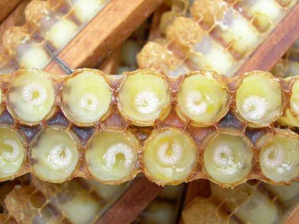 同样的蜜蜂受精卵,孵化为幼虫后,如果喂予蜂乳和花粉,18天后就发育为
