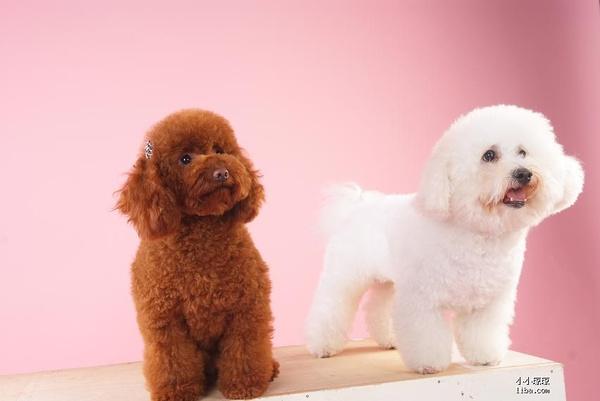 教你简单区分比熊犬和泰迪:比熊和泰迪有哪些区别