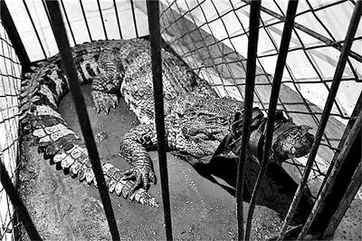 """本该生活在热带地区的暹罗鳄,不知为何出现在云岗地区。10月4日,有市民报警称,在云岗地区一家废弃的高尔夫球场水塘里发现鳄鱼。值班民警随即赶到事发点,发现这条鳄鱼体长有1.5米左右。目前这条鳄鱼被""""关押""""在云岗温泉西北角处的仓库里。"""