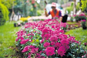 各大公园国庆节期间的菊花展吸引了不少游客 都市时报记者 资渔