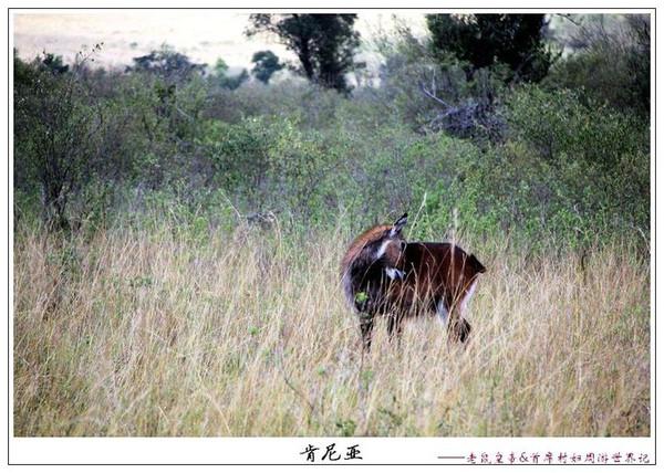 非洲草原精灵——羚羊