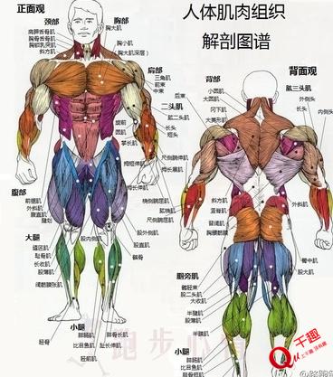 脂肪&肌肉,胖子&瘦子的区别图片