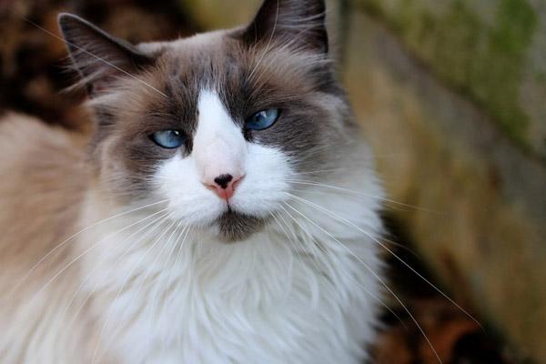 萌宠图片第50期:猫咪的头部特写