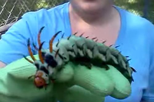 它们虽然外表看起来吓人,但却是无害的。头上的触角看起来非常尖锐,但它们从不使用触角蜇人或其他生物。