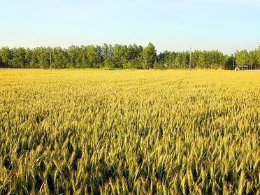 小麦最新十大高产栽培技术