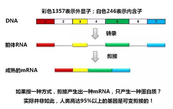 可变剪接,也叫选择性剪接,简单理解就是从前体rna上的不同位置下手
