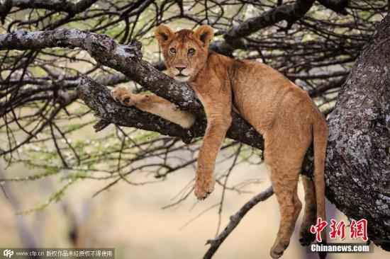 丹麦一动物园扑杀狮子 遭国际团体抨击