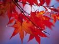 一叶知秋看红叶