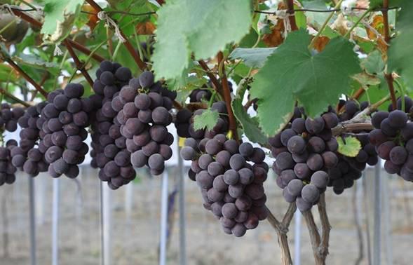 巨峰葡萄高产优产栽培技术是什么?