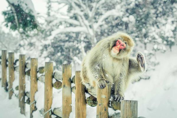 冬季温泉最享受的动物 | 雪猴