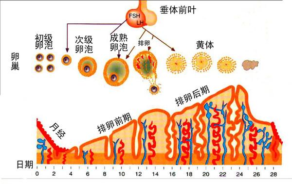 2,子宫内膜的周期性变化