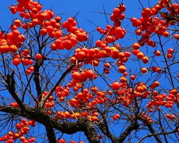 吃柿子有什么好处_雾霾天吃柿子清热止咳好处多要注意不能空腹