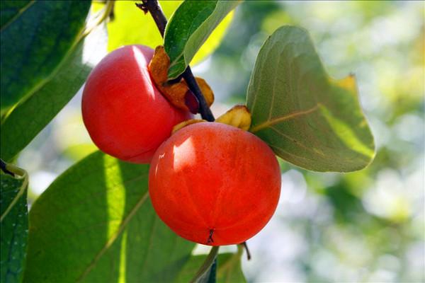 吃柿子有什么好处_秋天吃柿子的好处什么_养生_问病网
