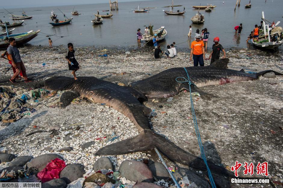 印尼渔民捕获鲸鲨 被孩子们当玩具耍