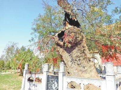 2700多岁古槐深夜莫名起火 树干中空可容一孩童