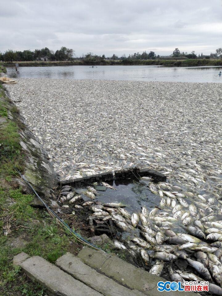 四川德阳一鱼塘疑被投毒 6万斤鱼一夜死光
