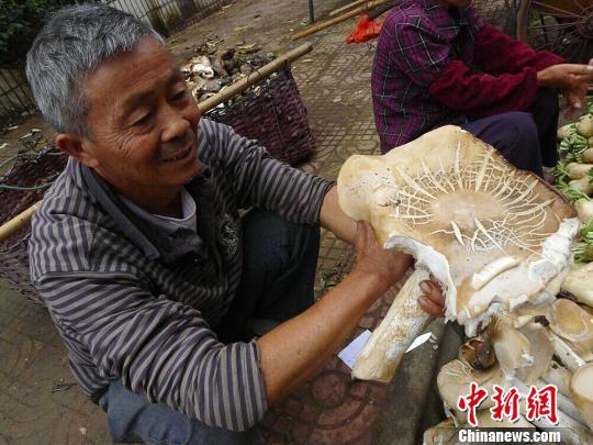 韶关一村民家菜地里长出的巨型野生真菌 陈惠贤 摄