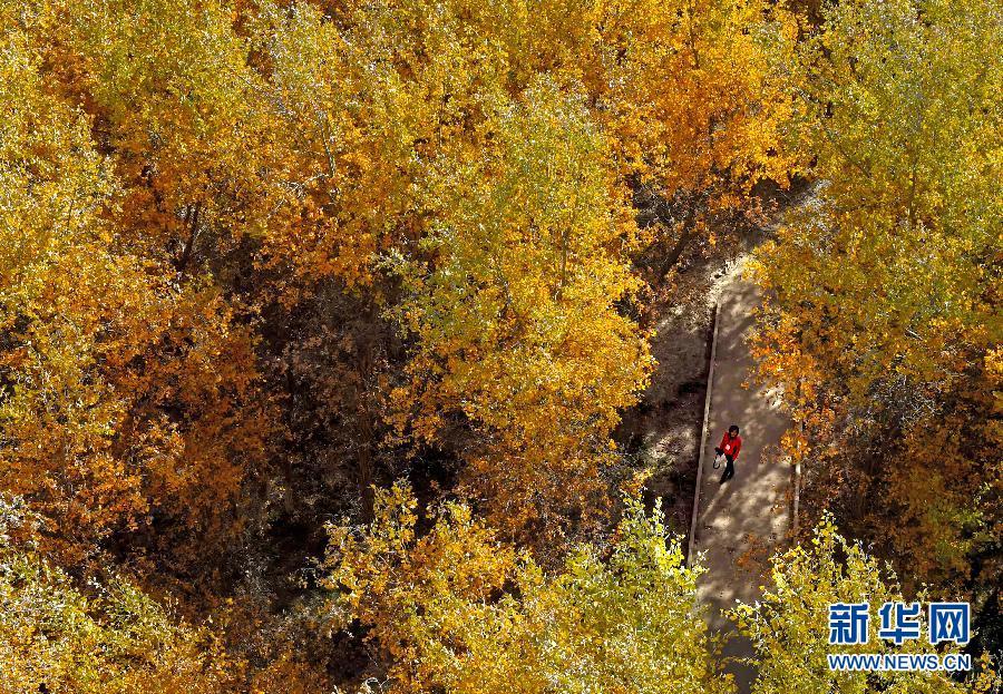深秋时节,在新疆巴楚县叶尔羌河中,下游的广袤地区,连片的胡杨树林图片