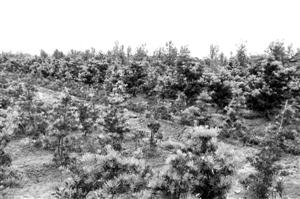 榄核镇九比村的罗汉松种植场