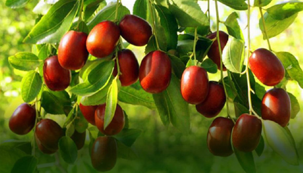 哪些人不能吃红枣?