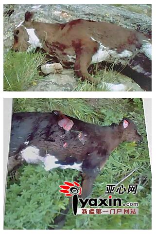 """新疆青河频发""""熊吃牛羊""""村民要求打死棕熊"""