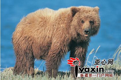 棕熊――又称哈熊,是国家II级保护动物,主要栖息在新疆天山、阿尔泰山的山区、谷地、森林、草原等区域。没有固定栖息场所,喜独自出行,多在白天活动,属于杂食性动物。棕熊有冬眠的习性,从10月底或11月初开始,一直到第二年3-4月处于冬眠期。棕熊的交配季节是5-7月,产2-4仔,通常是2仔。公熊为了争取交配机会有杀死幼崽的行为。幼熊要长到4-6岁才会性成熟,在野外生活的棕熊寿命有20-30年。