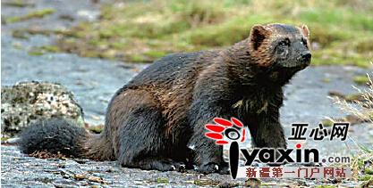 貂熊――当地俗名为狗熊,是国家I级保护动物,为体型最大的陆生鼬科动物,雄性大于雌性。主要栖息在新疆阿尔泰山的寒温带针叶林和冻土草原地带,多单独活动,昼伏夜出,食性杂。貂熊捕食能力较差,食物大多来自其他食肉动物的猎物剩余物,比例约占其食物量的67%。阿尔泰山林区的貂熊数量甚少,处于极度濒危状态。