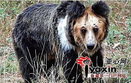 藏马熊――棕熊的一个地理亚种,主要栖息于新疆阿尔金山,有冬眠习性,冬眠时,多寻找偏僻的山洞,入眠和觉醒的时间变动很大。藏马熊性凶猛而力大,食性杂,主要以翻掘洞穴的方法捕食鼠兔和旱獭,也涉水捕食水禽的雏鸟,在牧区也捕食家畜,还吃没有腐烂的动物尸体。